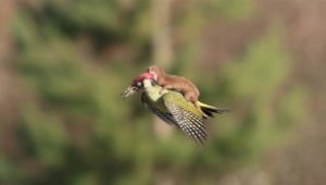 Yes. That really is a weasel on the back of a woodpecker.