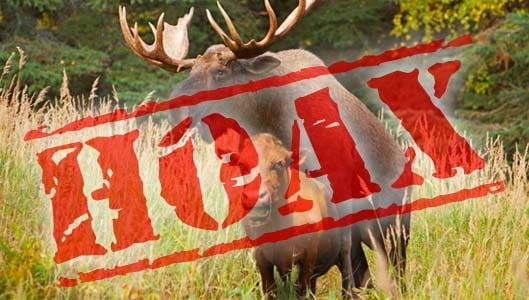 Did a moose from Calgary really going on a cow raping rampage? Fact check