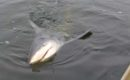Was a Bull Shark really spotted on Ohio River? Fact Check