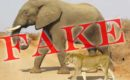 Photo of elephant carrying lion cub to water. Fact Check